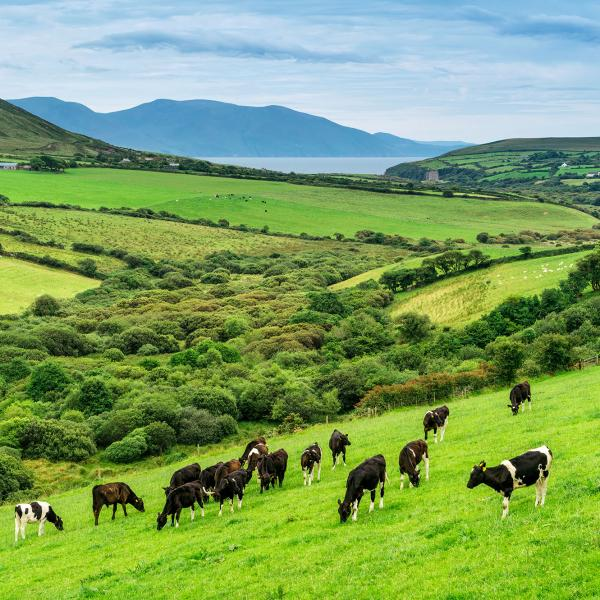 Irish grass fed cows in a field in Ireland