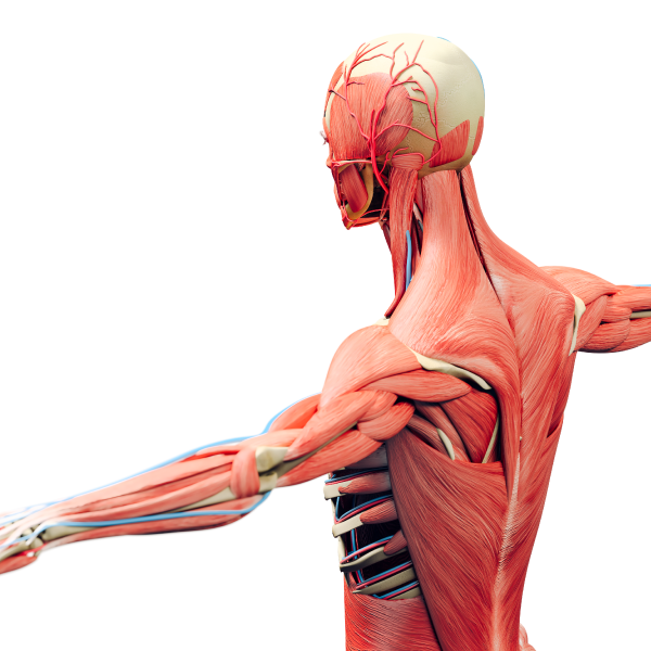 image of musculoskeletal system